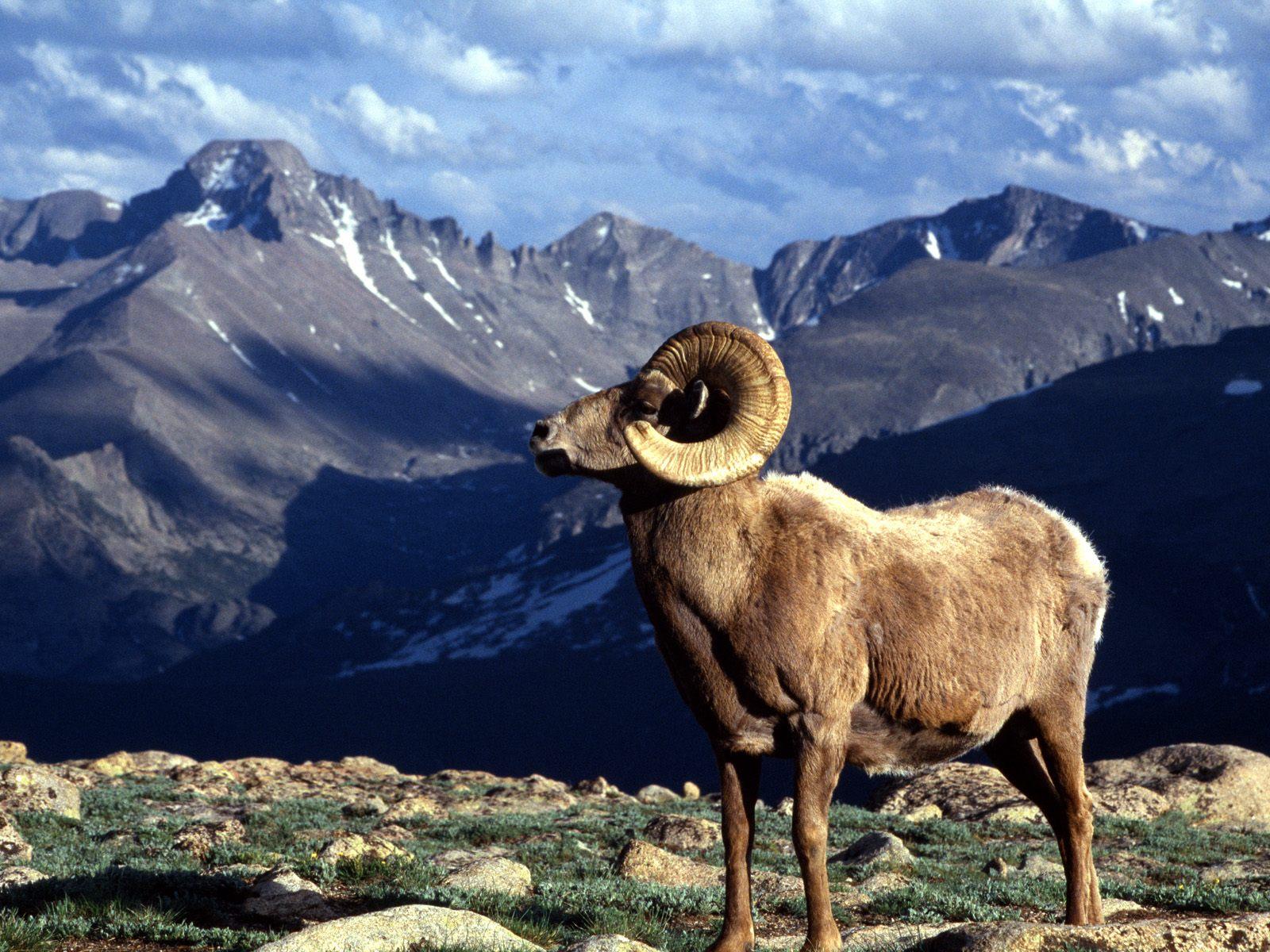 big_horn_ram_rocky_mountain_national_park_colorado.jpg